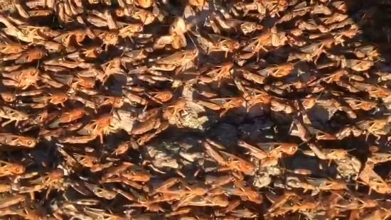 Invasion der Heuschrecken