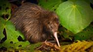 Eigentlich typisch neuseeländisch: Ein Streifenkiwi