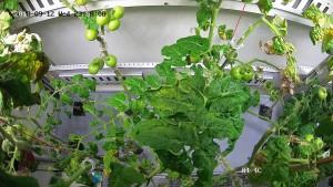 Forscher züchten Tomaten im ewigen Eis