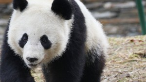 Auf den Panda gekommen