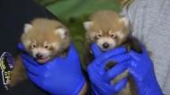 Rote Panda Babys in Denver