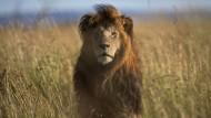 Ein Löwe in Kenia, aufgenommen im Juli 2015