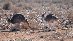 Australier droht Haftstrafe wegen Tötung von 20 Kängurus