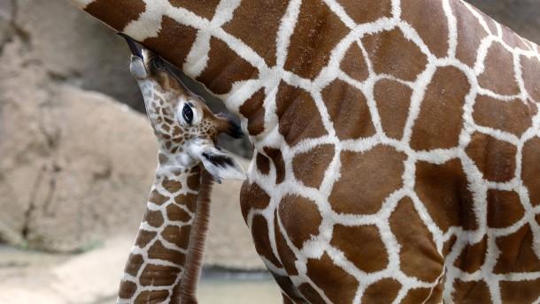 Ein Giraffenbaby namens Corona