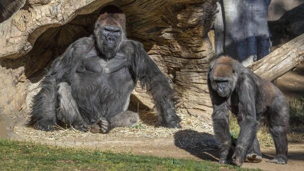 Gorillas mit Corona infiziert