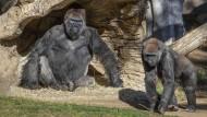 Gorillas im Zoo von San Diego: Zwei der Tiere wurden positiv auf Covid-19 getestet.