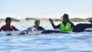 Helfer retten über 100 Wale in Neuseeland