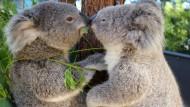 Behörden lassen schwache Koalas töten