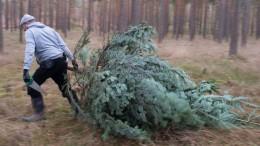 Ein Weihnachtsbaum, selbst geerntet