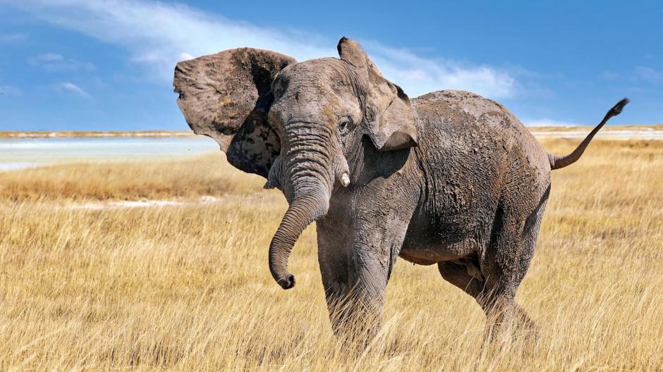Sollten so schlecht gelaunte Elefanten wie dieser tatsächlich irgendwann durch Europa stapfen?