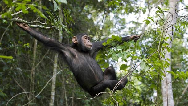 Der Lebensraum der Schimpansen schwindet