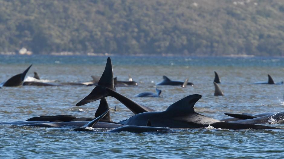 Grindwale sind an einer Sandbank im Hafen von Macquarie in der Nähe von Strahan an der Westküste Tasmaniens gestrandet.