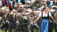 Traditioneller Almabtrieb läutet Ende des Sommers ein