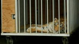 Streunender Tiger eingefangen