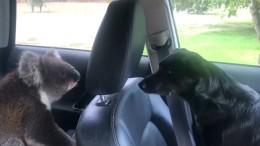 Koala bricht in Auto ein und weigert sich zu gehen