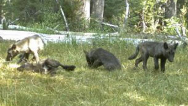 Gehört der Wolf zu Kalifornien?