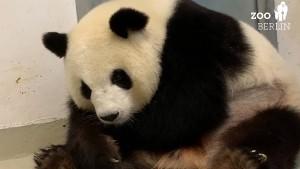 Doppeltes Panda-Glück