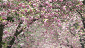 Morddrohung gegen die Kirschblüte