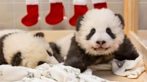 So heißt der süße Panda-Nachwuchs