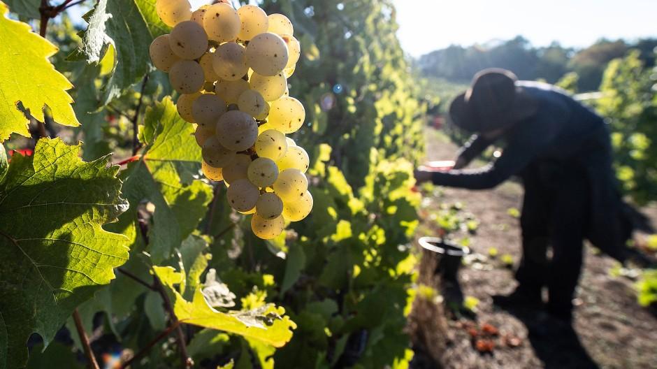 """Der Rheingauer Weinbauverband spricht von einem """"ruhigen, entspannten Herbstverlauf"""" und von Trauben """"in perfektem Reifezustand"""". (Archivbild)"""