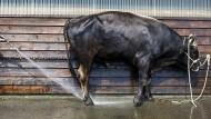 Der Stier wurde von Polizisten erschossen, nachdem er einen Bauern und seinen Vater getötet hatte.