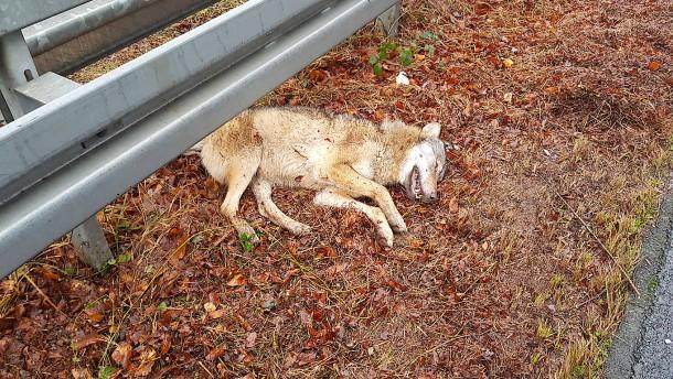 Wolf im Süden von Frankfurt totgefahren?