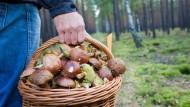 Ein Pilzsammler trägt einen vollen Korb mit Pilzen. (Symbolbild)