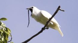Lautesten Vogel der Welt aufgespürt