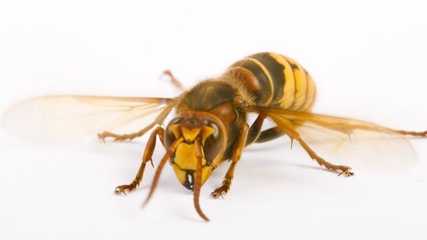 Warum wir Hornissen nicht fürchten müssen – Wespen aber schon