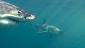 Surfer rettet Kameradin vor Weißem Hai