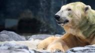 Tropischer Eisbär eingeschläfert