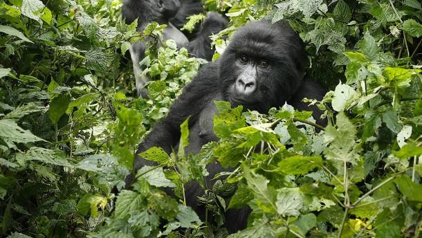 Mann wegen Tötung eines Berggorillas in Uganda verurteilt