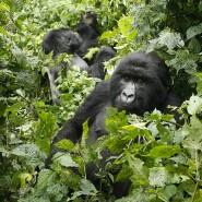 Bedrohte Art_ Es gibt nur noch rund 1000 Berggorillas auf der Erde.