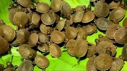 Tausende Baby-Schildkröten freigelassen