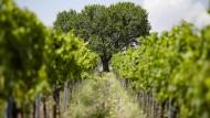 Der Winzer Mathieu Kauffmann bewirtschaftet seine Weinberge biodynamisch, lässt die Trauben in Frieden natürlich reifen.