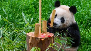 Panda-Zwillinge feiern Geburtstag mit Bambustorte