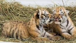 Zwei Tigerbabys nun im Wiener Zoo