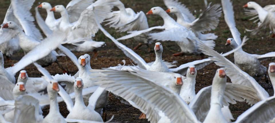 low priced e0bbb fbd34 Weihnachtsbraten trotz Vogelgrippe gesichert