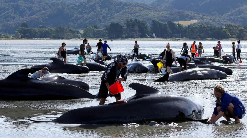 Am 22. Februar sind rund 50 Wale am Farewell Spit in Neuseeland gestrandet. Doch vor vier Jahren, wo dieses Foto entstanden ist, waren es insgesamt fast zehn Mal so viele.