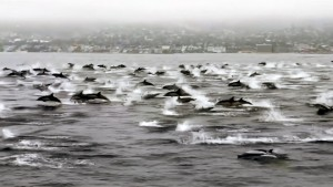 Delfin-Sprünge im Akkord