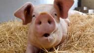 """""""Nicht zu menschlich"""": Die biologische Vermischung von Mensch und Schwein ist eine Gratwanderung."""