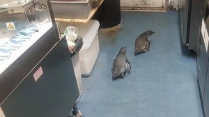 Pinguin-Paar macht Sushi-Bar unsicher