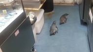 Zwei Pinguine watscheln durch eine Sushi-Bar in Neuseeland.
