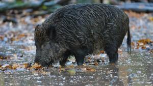 Wildschwein flüchtet durch Rhein – und entkommt der Polizei