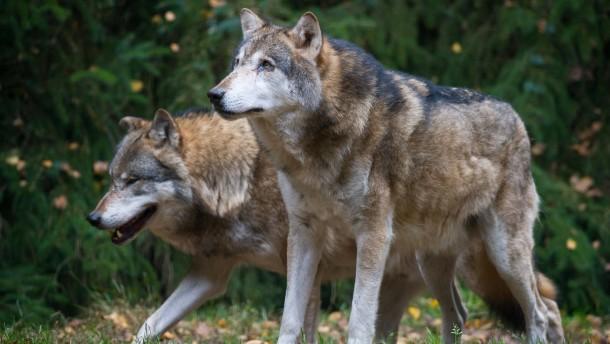 Ein Wolf, ein Wolf!