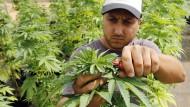 Lateinamerikas größte Cannabis-Plantage eröffnet