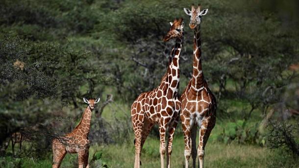 Sorge um stilles Aussterben der Giraffen