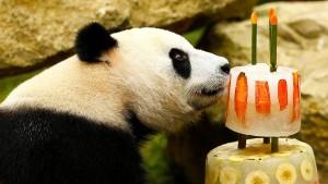 Zoo-Pandas feiern Geburtstag mit Torte