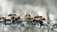 Seuchenbekämpfung im Tierreich: Wenn Ameisen in Quarantäne gehen