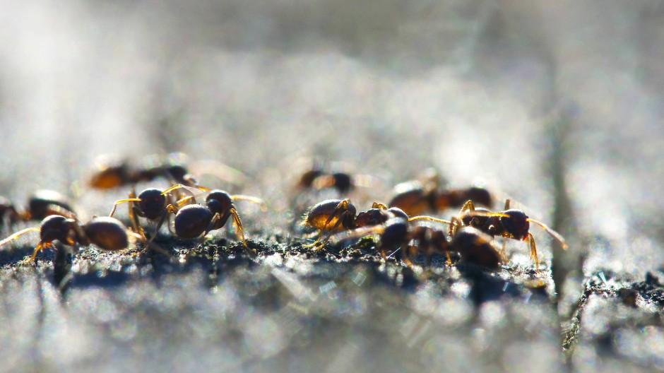 Kontaktreduktion im Ameisenstaat: Die Schwarzgraue Wegameise weiß, wie man sich gegen Infektionskrankheiten wehrt.